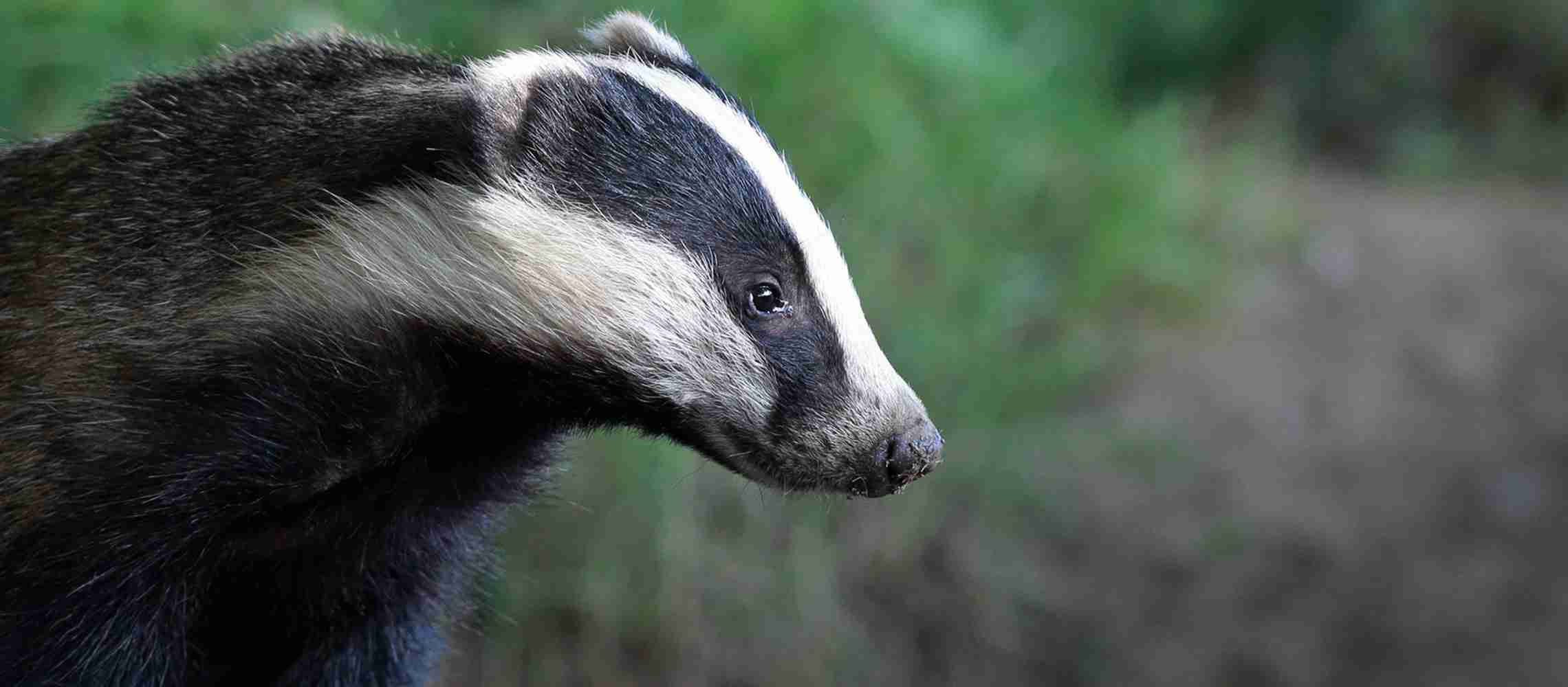 A badger rescued and then released from secret World