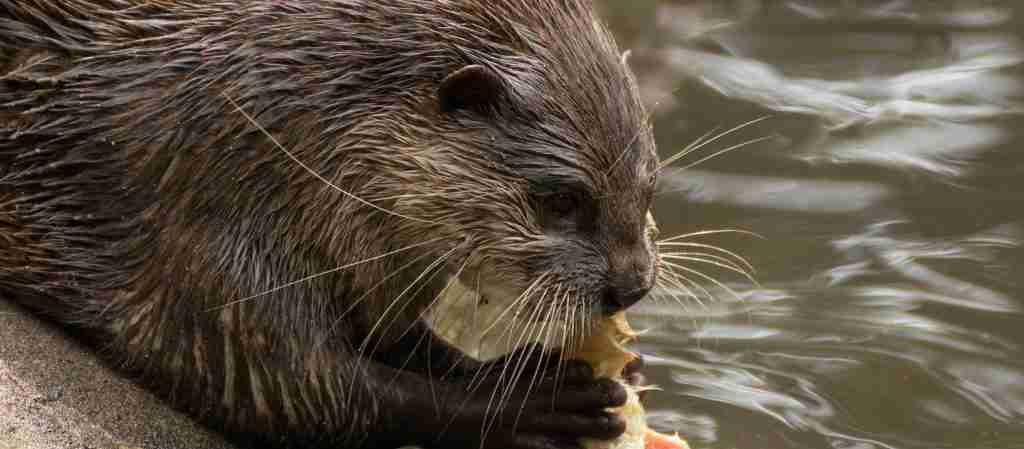 An otter thriving on the Somerset Levels