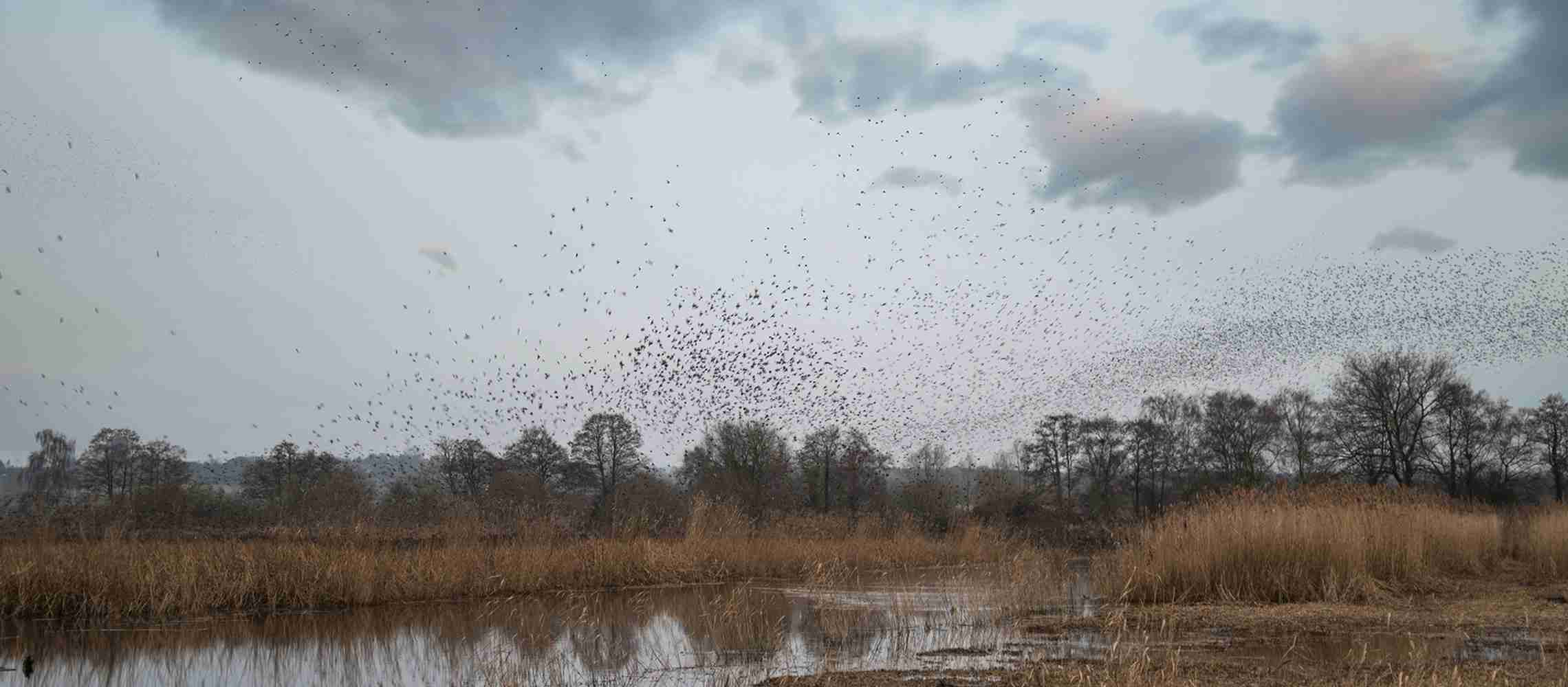 A murmuration of starlings on the somerset levels.