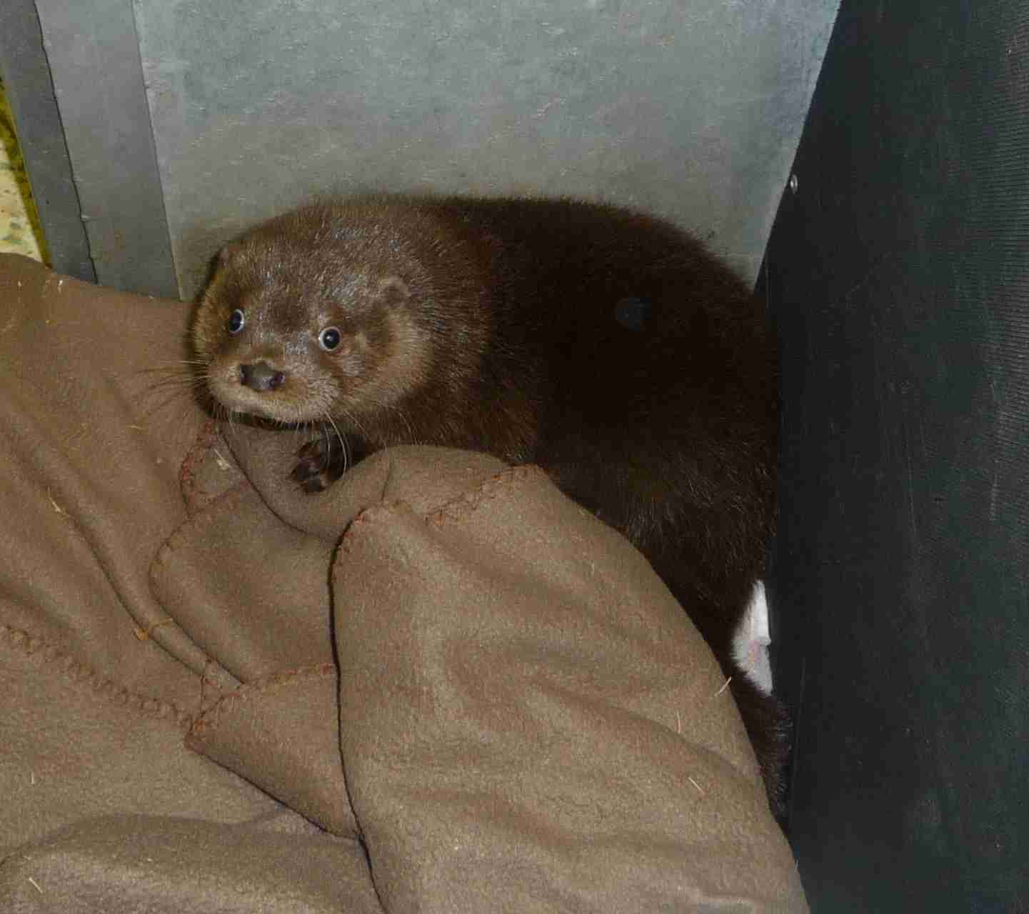 Amoré the Otter Returns to Secret World with a Friend