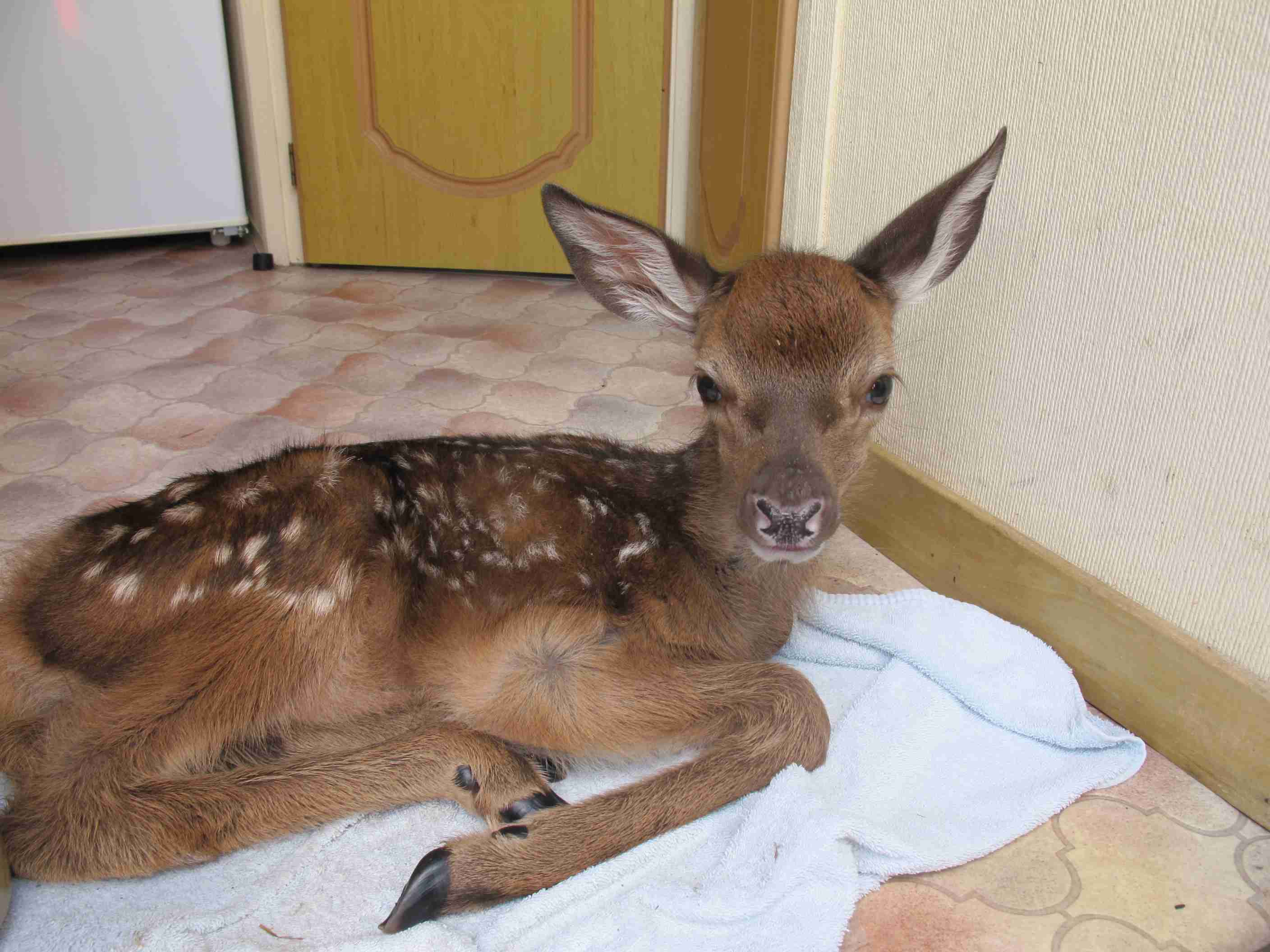 Second Chance for Baby Deer Abandoned by Roadside