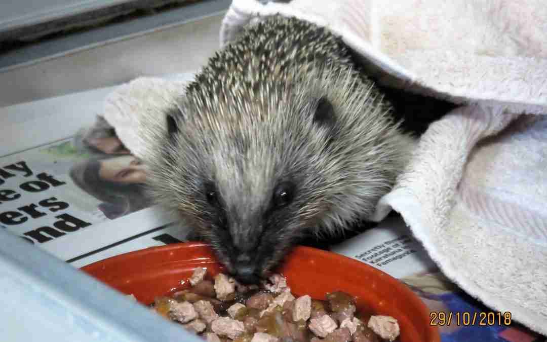 Joint statement on captive breeding of hedgehogs in response to population decline